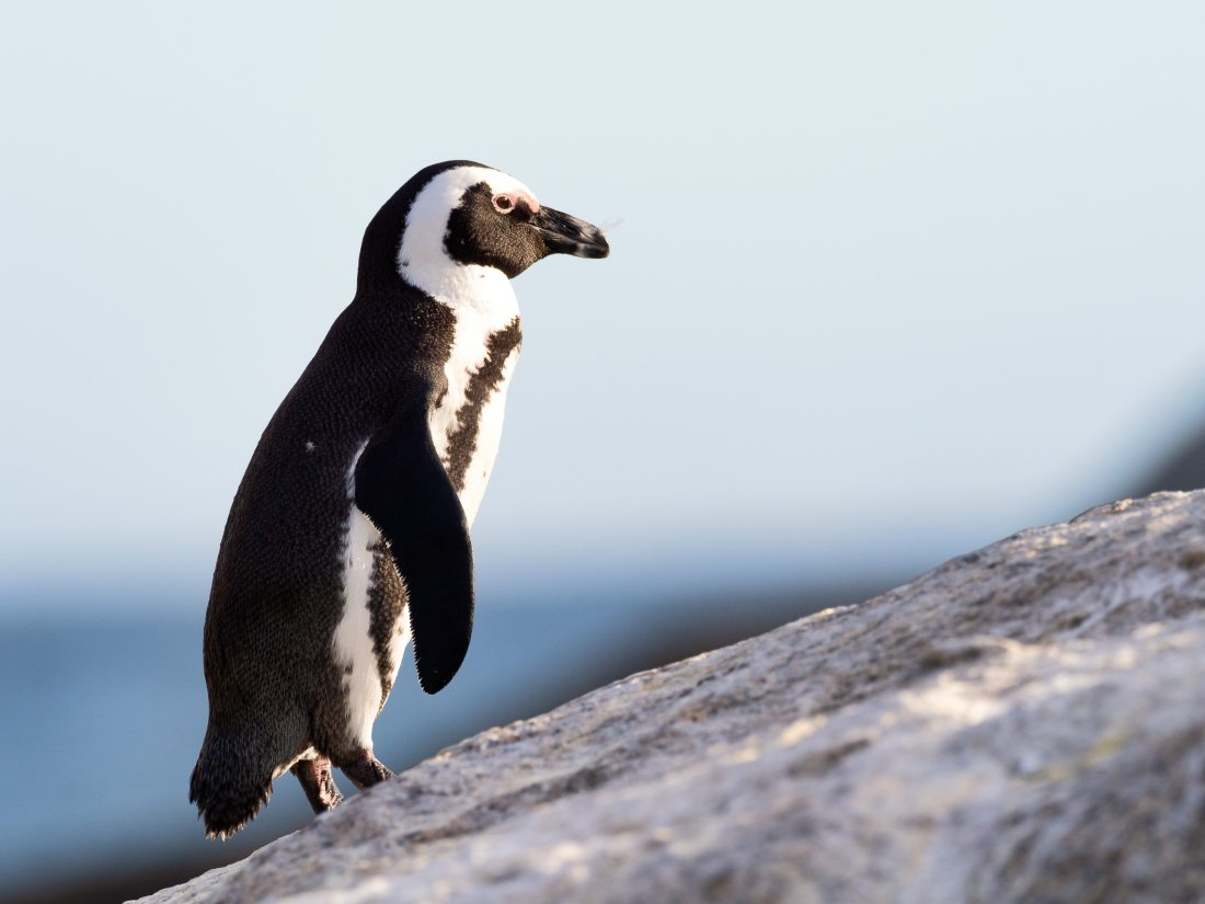 african-penguin-animal-animal-photography-1881761 (1)