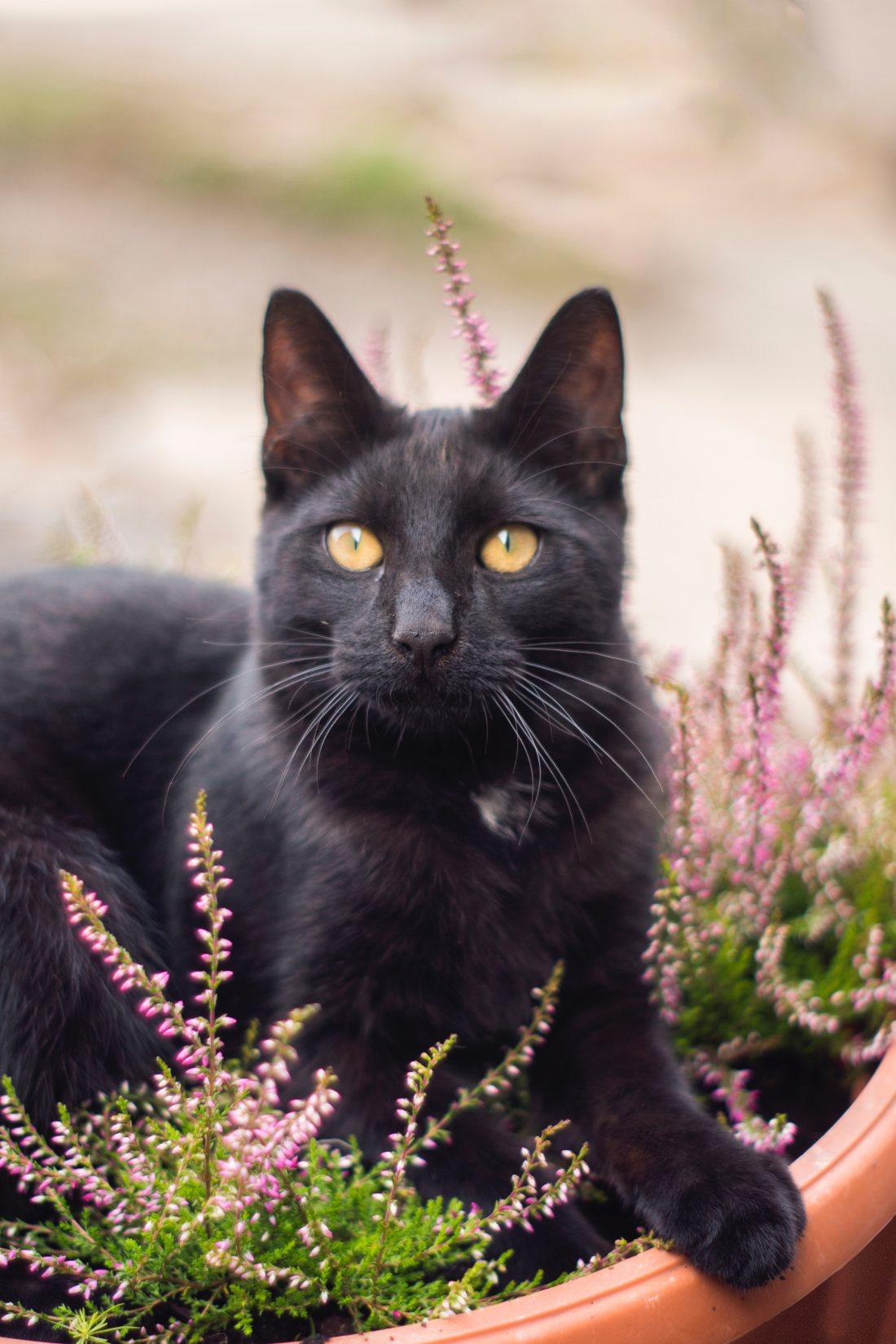 black-cat-on-planters-pot-1424687