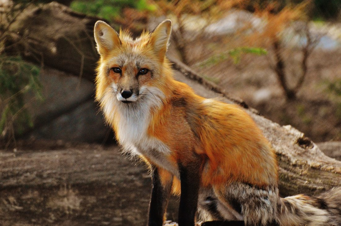 photography-of-tan-white-fox-158340