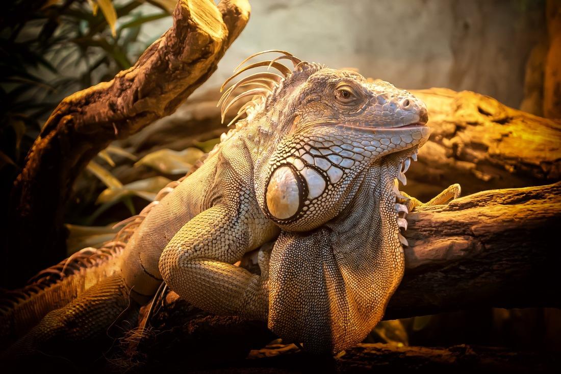 lizard-804114_1920