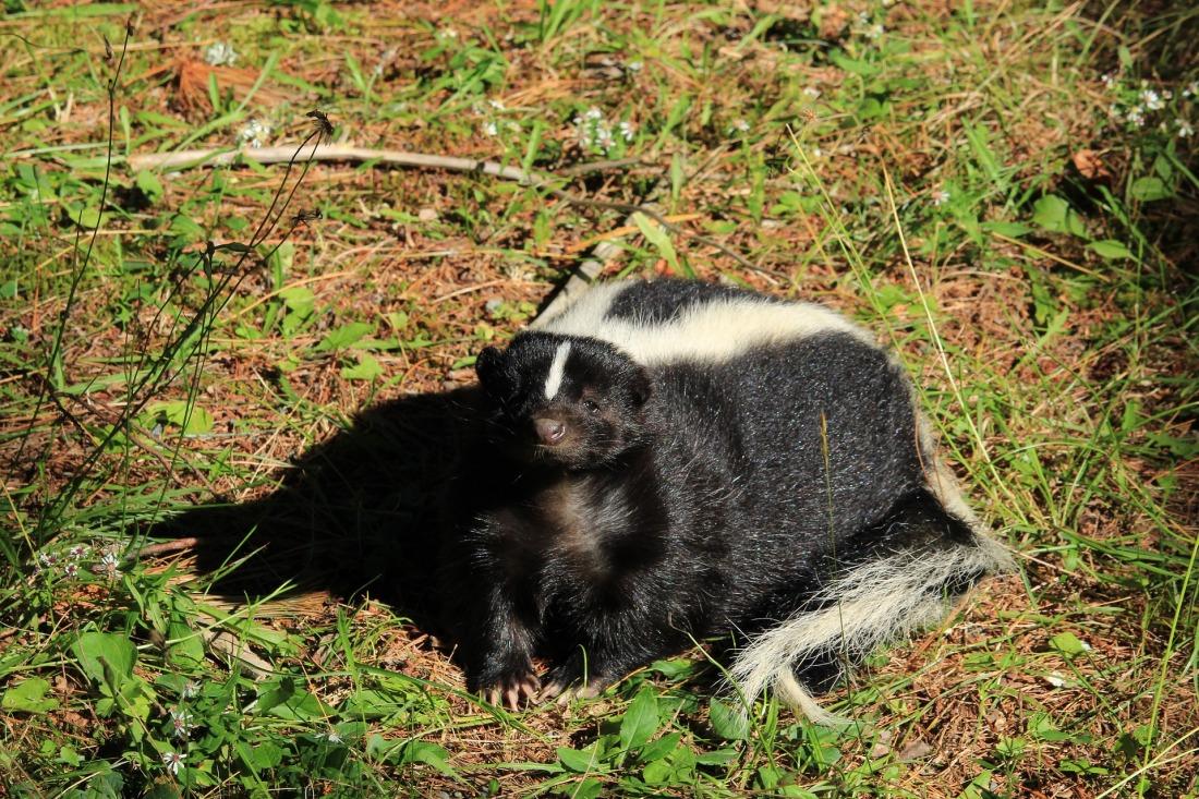 skunk-3710721_1920