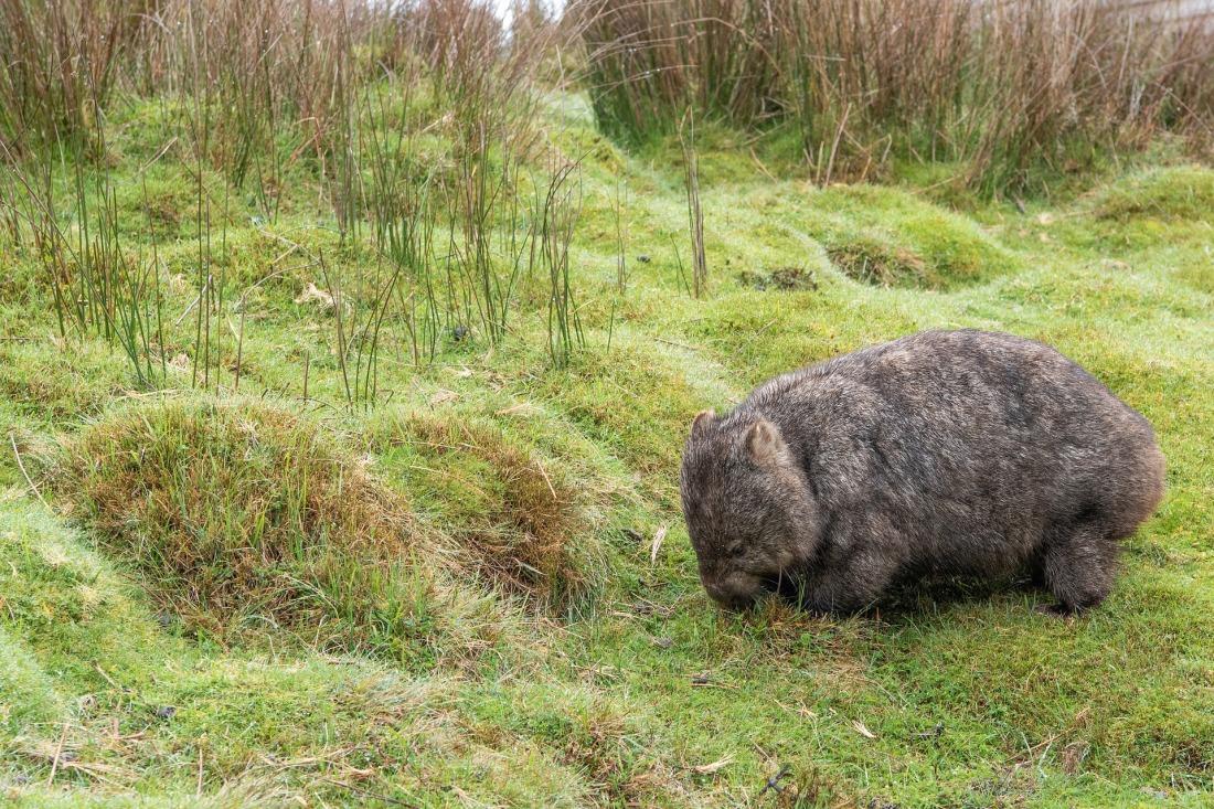 wombat-3887250_1920